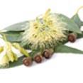 Eucalyptus Leaf Extract