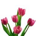 Tulip Extract